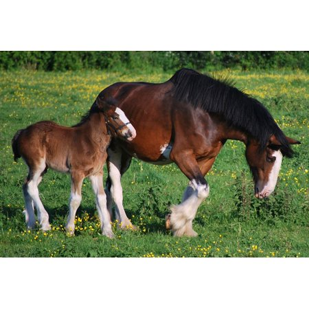 LAMINATED POSTER Mare Colt Horses Meadow Rural Clydesdales Farm Poster Print 24 x 36