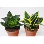 "2 Snake Plant Variety (Sansevieria) / 4"" Pot / Live Plant"