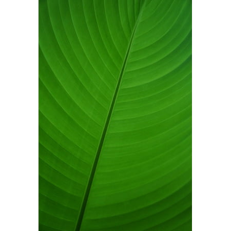 LAMINATED POSTER Leaf Green Banana Leaf Banana Palm Flora Plant Poster Print 24 x 36 ()