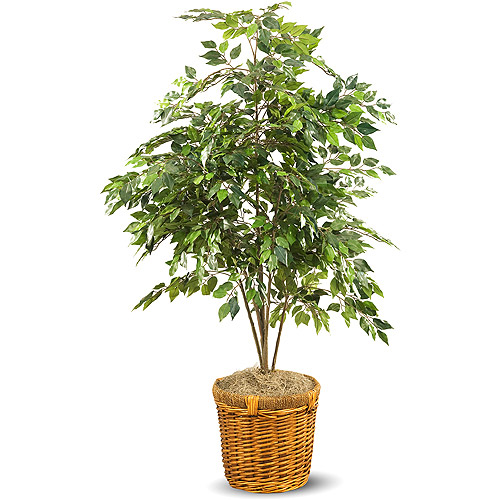 Ficus Tree In Rattan Planter
