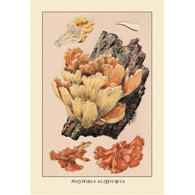 Buy Enlarge 0-587-12255-2P20x30 Polyporus Sulphureus- Paper Size P20x30