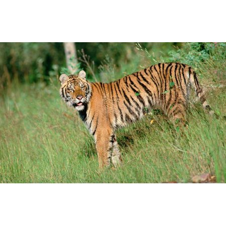 Siberian Tiger standing in green grass Poster Print by Tim Fitzharris ()