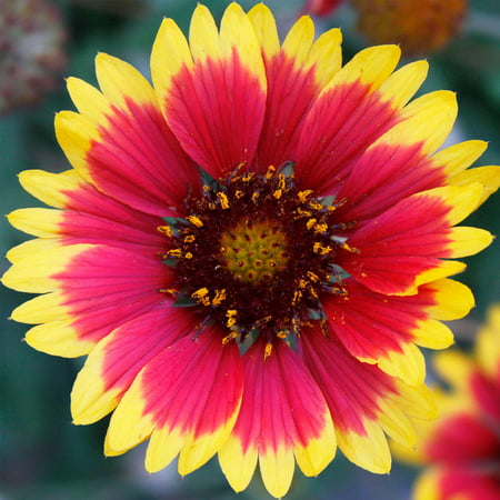 Blanket Flower Gaillardia Wildflower Seeds 4 Oz Perennial Wild