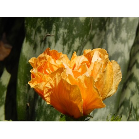 LAMINATED POSTER Petals Yellow Flower Yellow Flower Hibiscus Yellow Poster Print 24 x 36