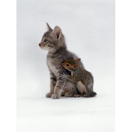 Domestic Cat, Interacting with Baby Grey Squirrel Print Wall Art By Jane Burton