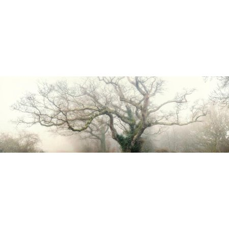 Panoramic Octopus Ghost Oak Tree Sepia Photography Print Wall Art By Phillipe