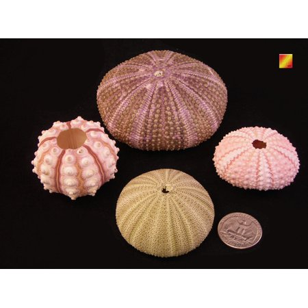 Nautical Decor Sampler: Natural Pink, Sputnik, Green and Alfonso Sea Urchins Nautical Beach Decor Crafts