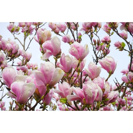 Canvas Print White Magnolia Pink Magnolia Blossom Flowers Stretched