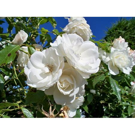 LAMINATED POSTER Close White Rose Close-up Iceberg Rose Flowers Poster Print 24 x (Iceberg Roses)