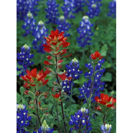 Adams Art Print - Texas Bluebonnet and Indian Paintbrush, Texas, USA Print Wall Art By Claudia Adams