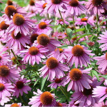 Echinacea Purple Coneflower Flower Seeds - 1000 Seeds Outsidepride - A) 1000 Seeds