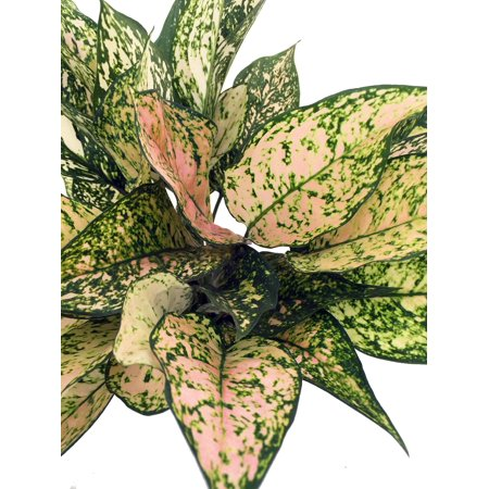 (Etta Rose Chinese Evergreen Plant - Aglaonema - Grows in Dim Light - 6