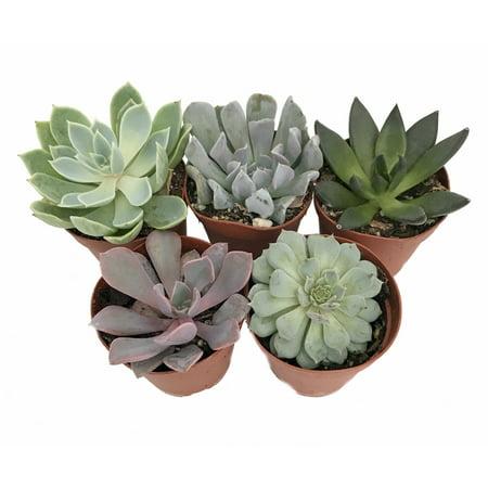 5 Different Desert Rose Succulent Plants - Echeveria - Easy to grow - 2
