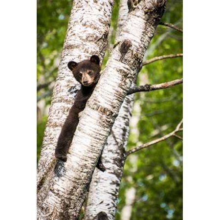 Bear Cub In Tree Ii Poster Print By Beth Wold