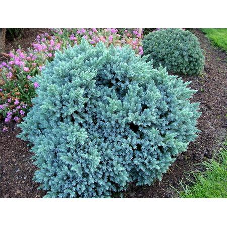 2pot Juniperus Squamata Blue Star