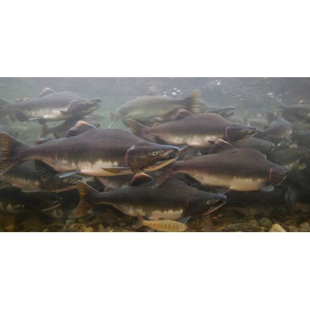 Pink Salmon swimming during migration Indian River Sitka Alaska Poster Print by Matthias Breiter (Indian River Groves)