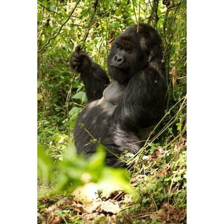 Gorilla Holding A Vine Volcanoes National Park Rwanda Poster Print By Joe   Mary Ann Mcdonald