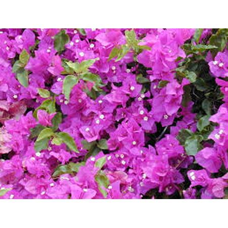 Tropical Vine, Spring-summer, Full Sun