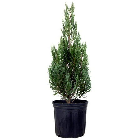 Blue Point Juniper, Upright Evergreen Tree, Lawn and Garden