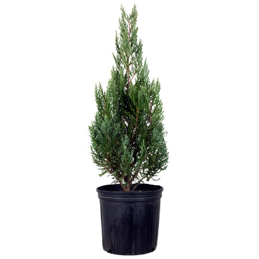 Blue Point Juniper, Upright Evergreen Tree, Lawn and Garden plants