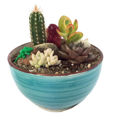 Sonora Gecko Cactus & Succulent Garden - Turquoise Glazed Pot - Easy to grow!