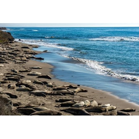 Elephant Seals on the beach, Piedras Blancas, San Simeon, California, USA Print Wall Art