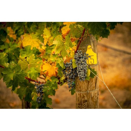 Washington State, Red Mountain. Cabernet Sauvignon Grapes at Hightower Cellars Print Wall Art By Richard Duval
