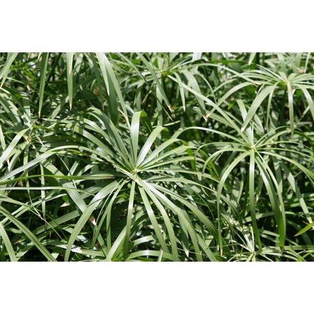 LAMINATED POSTER Spider Plant Garden Green Leaf Plant Nature Poster Print 11 x (Best Light For Spider Plants)
