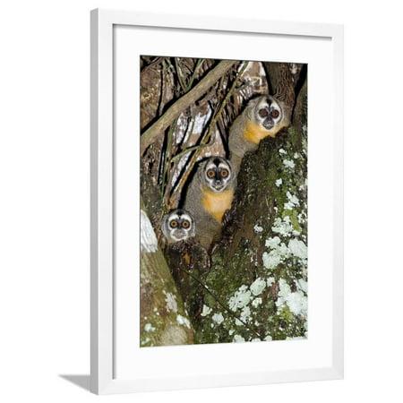 Camacho Maduro Cigars (Three-striped Owl Monkeys Framed Print Wall Art By Tony Camacho)