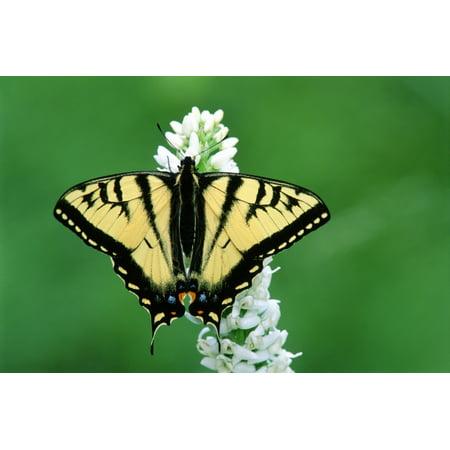 Tiger Swallowtail Butterfly British Columbia Canvas Art - Mike Grandmaison  Design Pics (18 x 12)