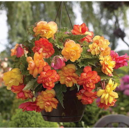 Van Zyverden Hanging Basket Begonias, Golden Balcony, Set of 5 Bulbs