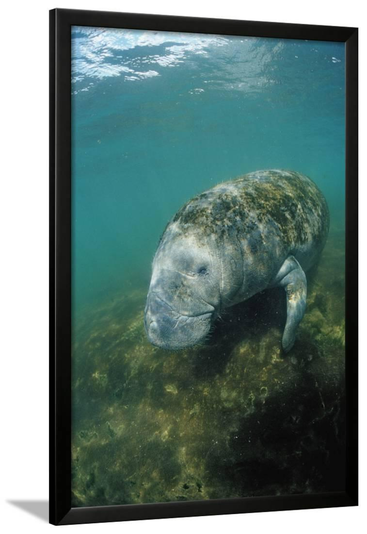 West Indian Manatee, T...