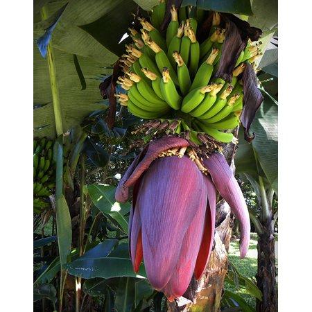 LAMINATED POSTER Costa Rica Bananas Bloom Fruits Blossom Green Poster Print 24 x (Costa Rica Banana)