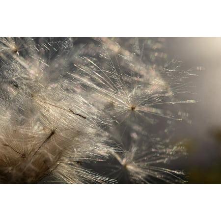 LAMINATED POSTER Wind Ease Back Light Sunshine Flying Seeds Close Poster Print 24 x 36 ()