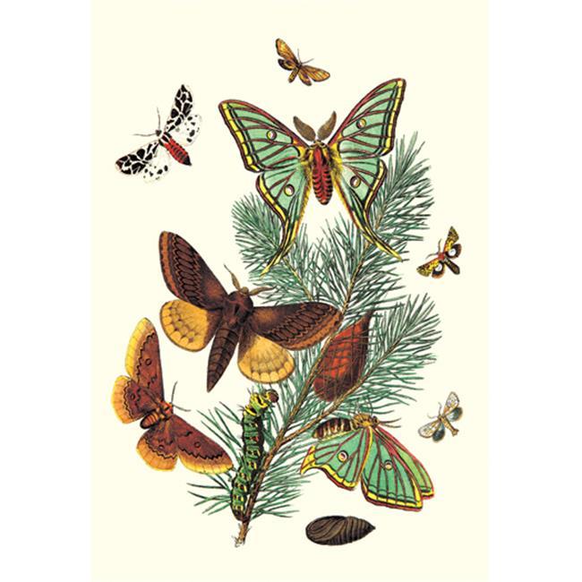 Buy Enlarge 0-587-07514-7P20x30 Moths- E.  Pudica  E.  Pantheria  S.  Caecigena  L.  Lineosa- Paper Size P20x30