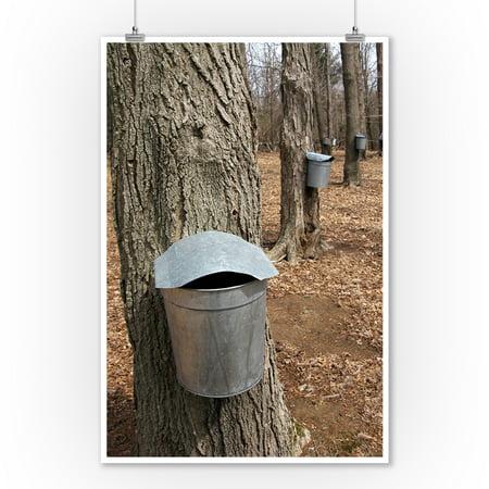 Maple Tree Sap Buckets   Lantern Press Photography  9X12 Art Print  Wall Decor Travel Poster