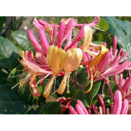 Gold Flame Honeysuckle Vine - Lonicera - Very Hardy - 2.5