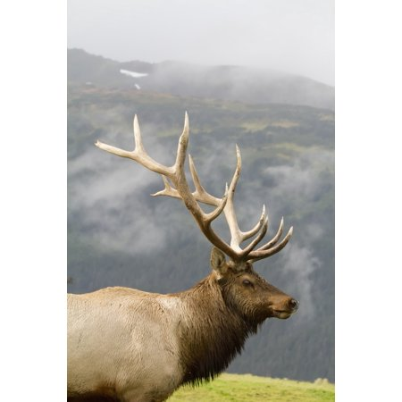 Portrait Of Captive Mature Rocky Mountain Bull Elk At The Alaska Wildlife Conservation Center In Portage Southcentral Alaska Digitally Altered Canvas Art - Doug Lindstrand Design Pics (24 x 38)