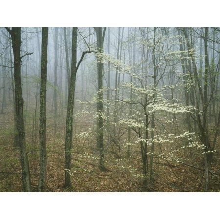 Flowering Dogwood in foggy forest, Appalachian Trail, Shenandoah National Park, Virginia, USA Print Wall Art By Charles