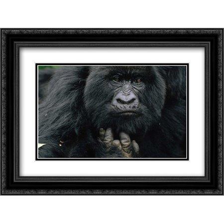 Mountain Gorilla showing finger lost to poachers trap, Virunga Mountains, DRC 2x Matted 24x18 Black Ornate Framed Art Print by Ellis, Gerry
