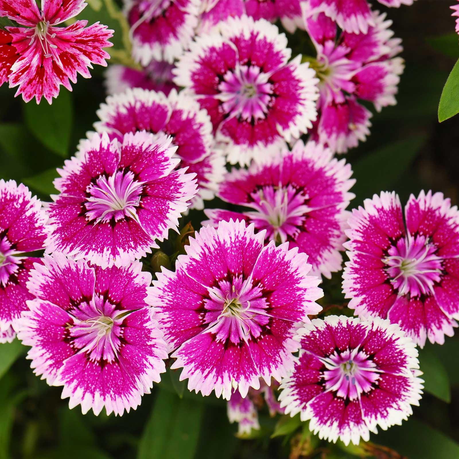 Dianthus Floral Lace Series Flower Seeds Violet Picotee 500