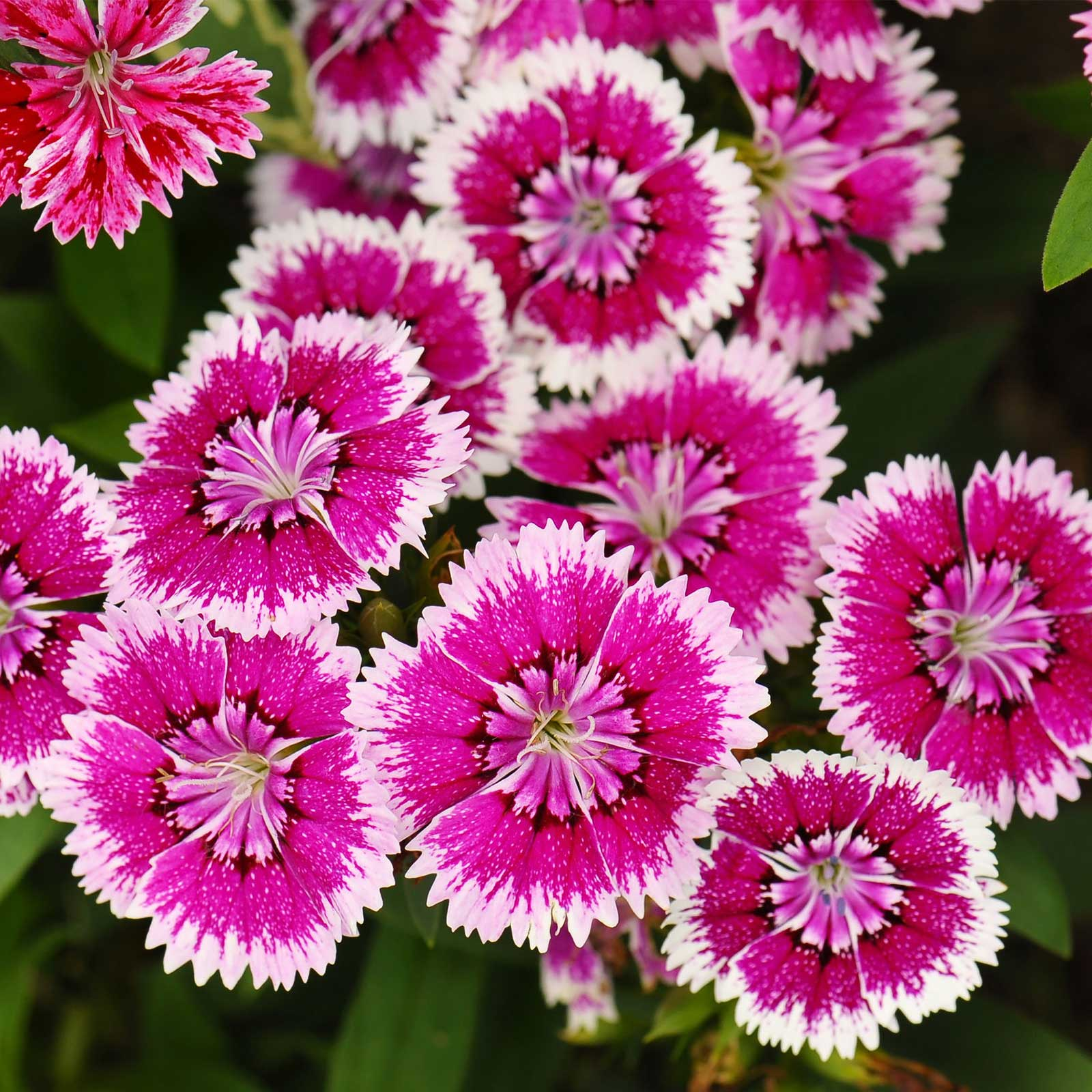 Dianthus Floral Lace Series Flower Seeds - Violet Picotee - 100 Seeds - Annual Flower Garden Seeds - Dianthus chinensis x barbatus