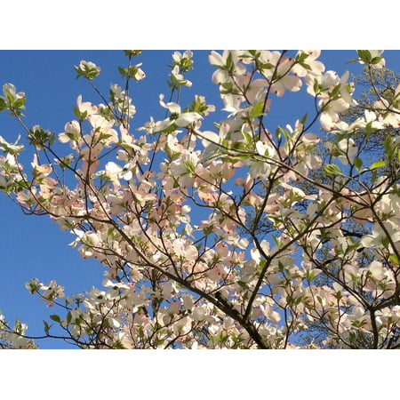 Canvas Print Bright Tree Dogwood Blooms Season Petal Growth Stretched Canvas 10 x - Dogwood Bloom