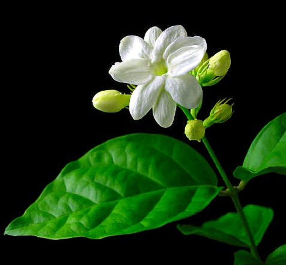 "Ohio Grown Arabian Tea Jasmine Plant - Maid of Orleans - Multiple Plants -4"" Pot"