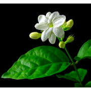 "Ohio Grown Arabian Tea Jasmine Plant - Maid of Orleans - 4"" Pot"