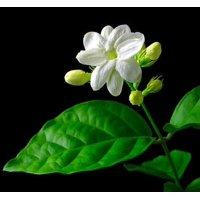 """Ohio Grown Arabian Tea Jasmine Plant - Maid of Orleans - Multiple Plants -4"""" Pot"""