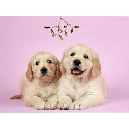 Golden Retriever Puppies (6 Weeks) Lying Down Print Wall