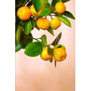 Calamondin Branch Journal: 150 Page Lined Notebook/Diary (Paperback)