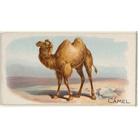 Camel from the Quadrupeds series (N21) for Allen & Ginter Cigarettes Poster Print (18 x 24) ()
