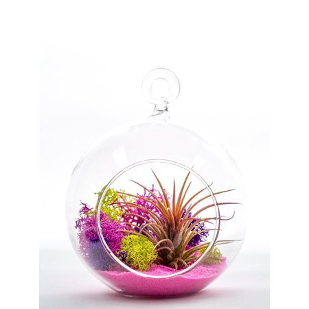Air Plant Terrarium Kit   Pink Joy   Natural Accents Series   Pink Sand   Tricolor Moss   Pink Purple Green   Complete Tillandsia Gift Set   4  Glass Globe    Tm  From Us